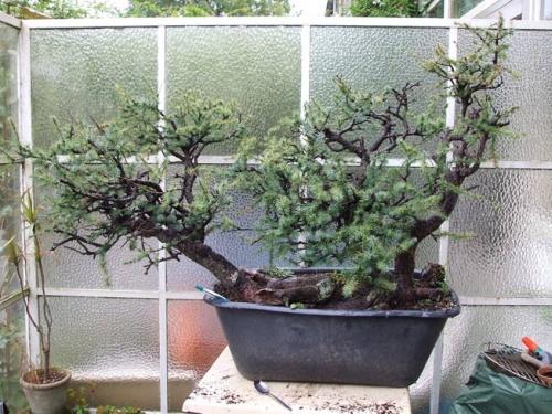 Bonsai 7659 - machiel van den broek