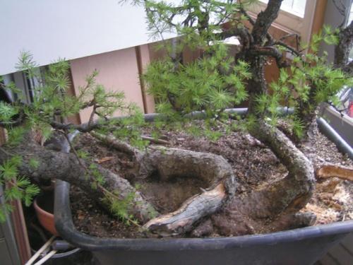Bonsai the trunk - machiel van den broek