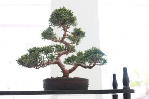 Bonsai Juniperus Chinensis de Alvaro Vinal - torrevejense
