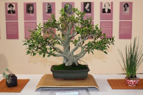 Bonsai Ficus Retusa de Novelda Club Bonsai - torrevejense