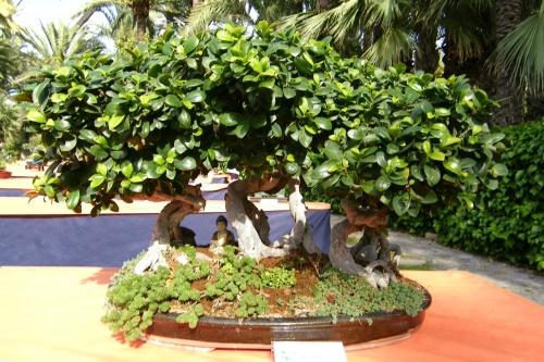 Bonsai Bosque Ficus Compacta de Juan Saez Sansano - ilicitano