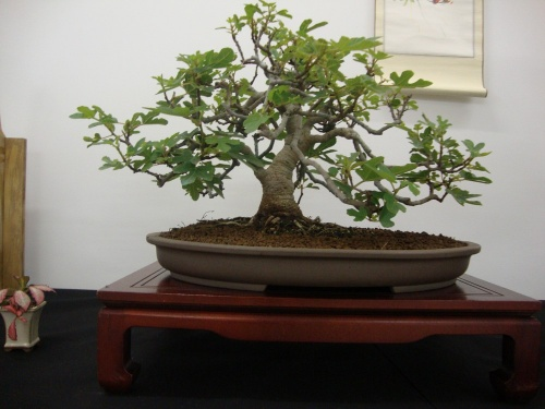 Bonsai 8699 - Bonsai Safor