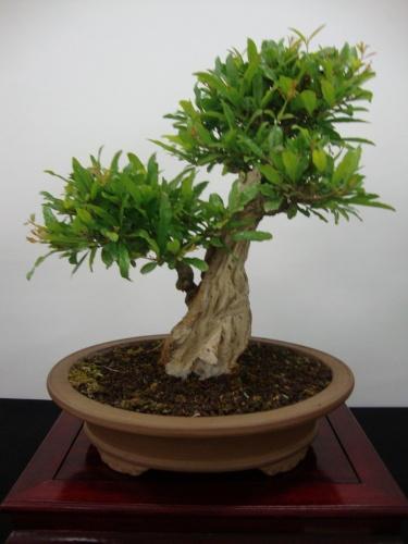 Bonsai 8703 - Bonsai Safor