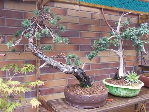 Bonsai 8815 - Sherpa
