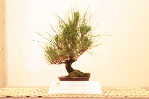 Bonsai Pino Negro Japones - Acia Bonsai