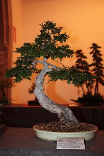 Bonsai Olmo Chino - Acia Bonsai