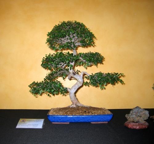 Bonsai 8911 - josegoderi