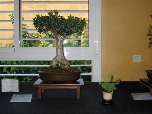 Bonsai 8915 - josegoderi
