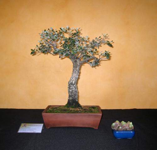 Bonsai Quercus suber - josegoderi