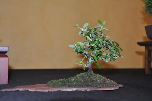 Bonsai Cotoneaster horizontalis - josegoderi