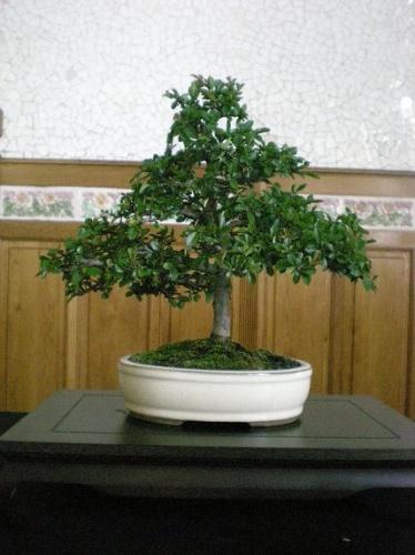 Bonsai Olmo - AVBONSAI