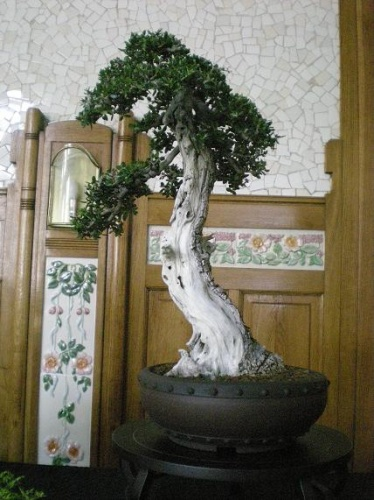 Bonsai Ullastre - AVBONSAI