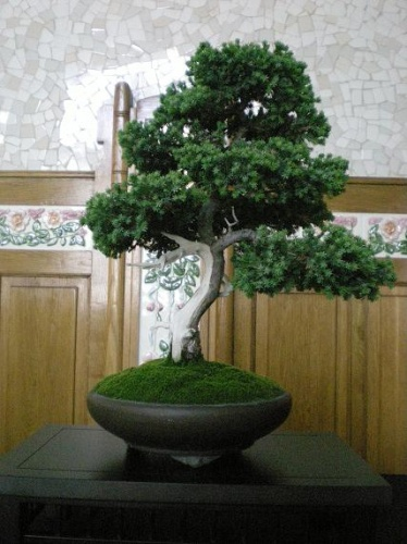 Bonsai Junipero - AVBONSAI