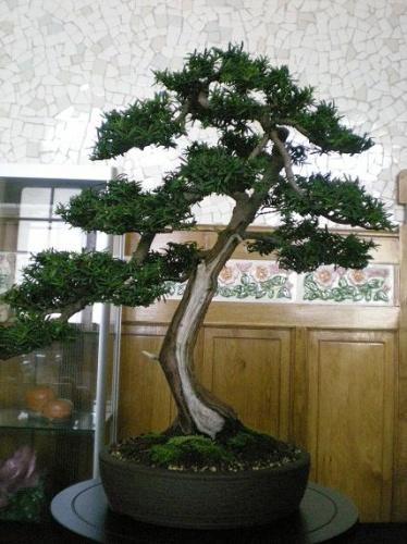 Bonsai Tejo - AVBONSAI