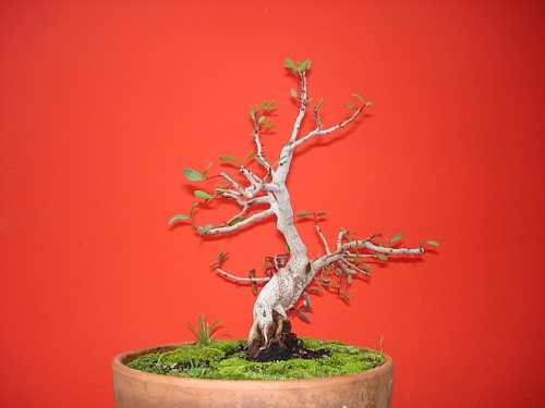 Bonsai LENTISCO - Juan45ju