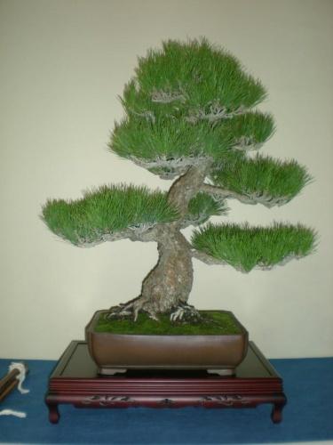 Bonsai 9671 - peniscola