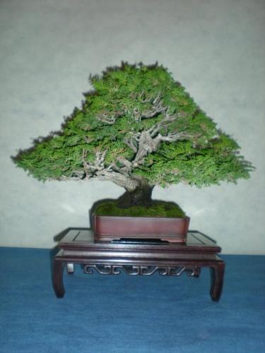 Bonsai 9699 - peniscola