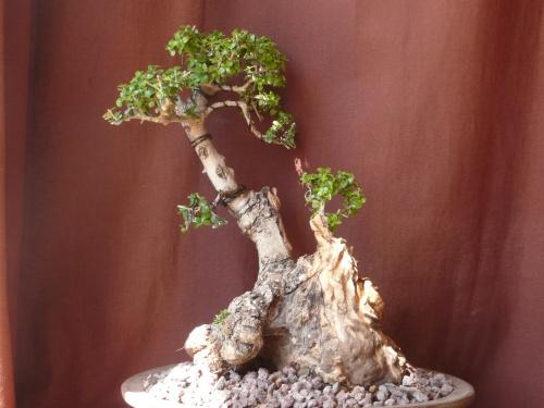 Bonsai 9759 - carmela