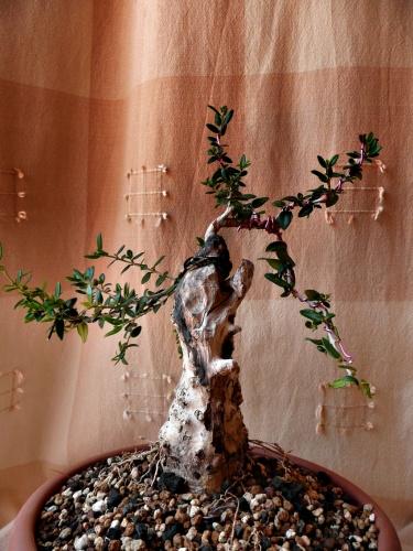 Bonsai 9763 - carmela