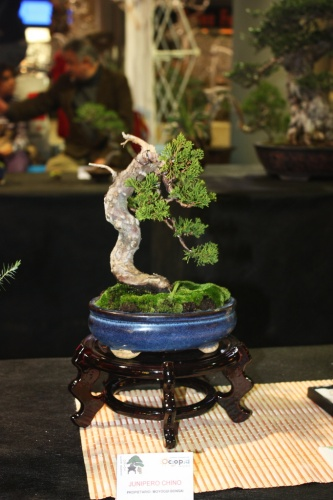 Bonsai Junipero Chino de Moyogui Bonsai - Bonsai Oriol