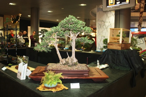 Bonsai Acebuche de Alvaro Vinal - Bonsai Oriol