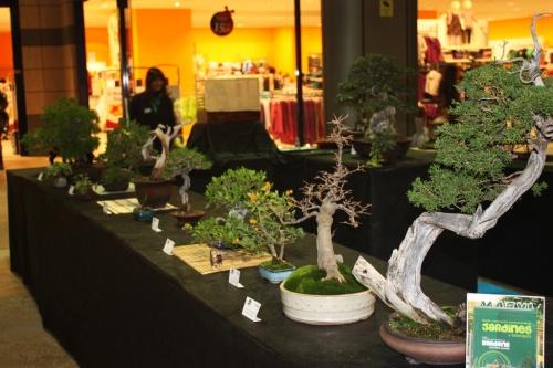 Bonsai Varios Ejemplares de Bonsai en Ociopia - Bonsai Oriol