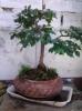Olmo alto 2006 -1