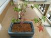arce palmatum deshojo
