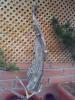 junipero adosado a una buena madera muerta