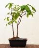 2 Robles (Quercus Robur)