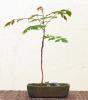 Jabonero de China (Koelreuteria paniculata)