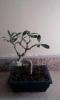 olivo recien adquirido podado y transplantado